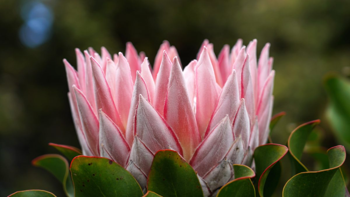 Five Beautiful Indigenous South African Plants for your Garden